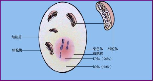 人体有200多种细胞,它们的形态各异,大小不等,功能不同。例,肌肉细胞、神经细胞、卵细胞、血细胞等细胞都各不相同。人体的细胞构成了组织(上皮组织、结缔组织、肌肉组织和神经组织),组织构成了器官(心、肺、胃、肠、肾),器官构成了系统(循环系统、消化系统、呼吸系统、内分泌系统、神经系统、运动系统、泌尿系统、生殖系统),系统构成了我们人体。